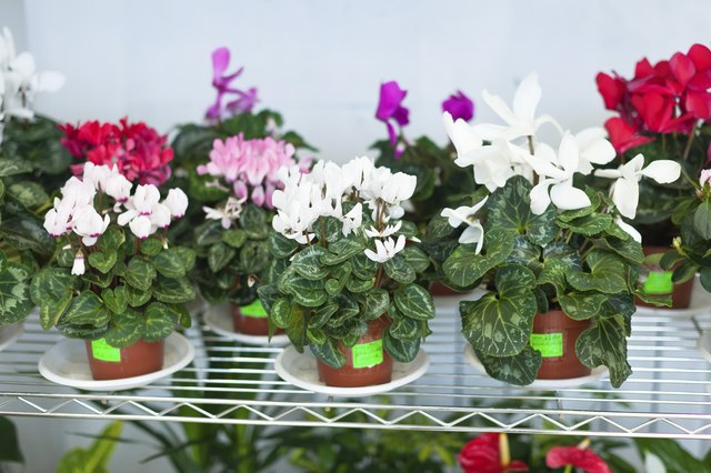 Cyclamen in pots at flower store