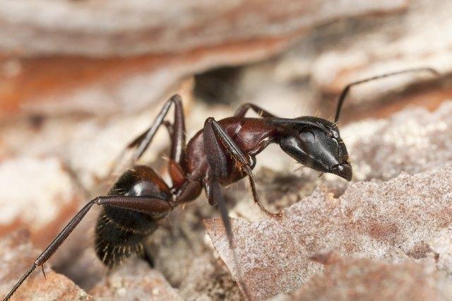 """""""Macro photo of a Carpenter ant, Camponotus herculeanus"""""""