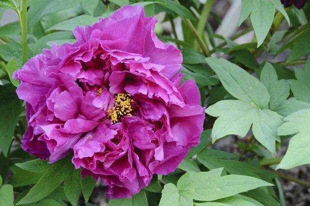 Single purple peony bloom