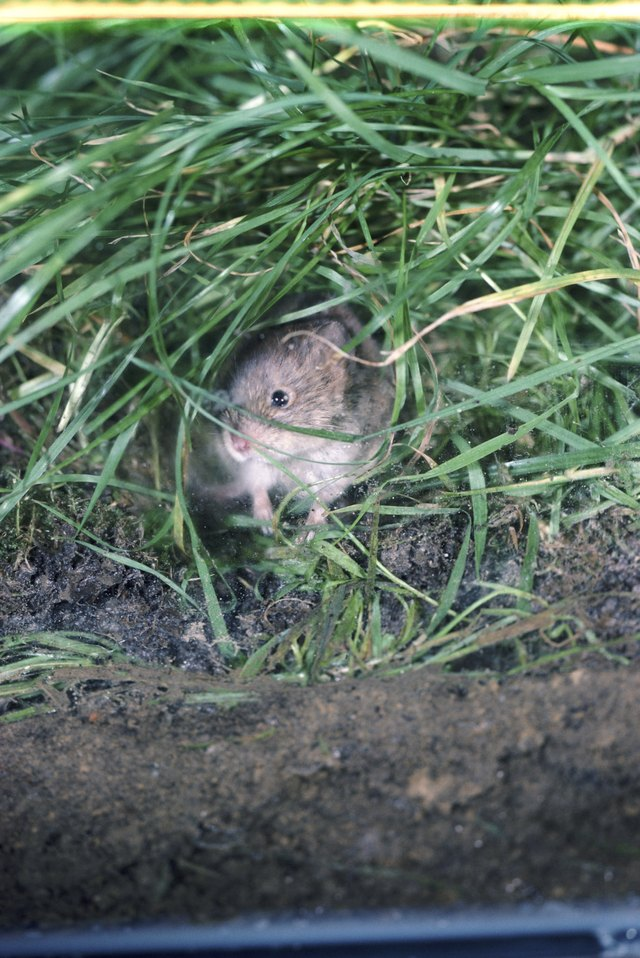 How to Catch a Vole in the House | Hunker