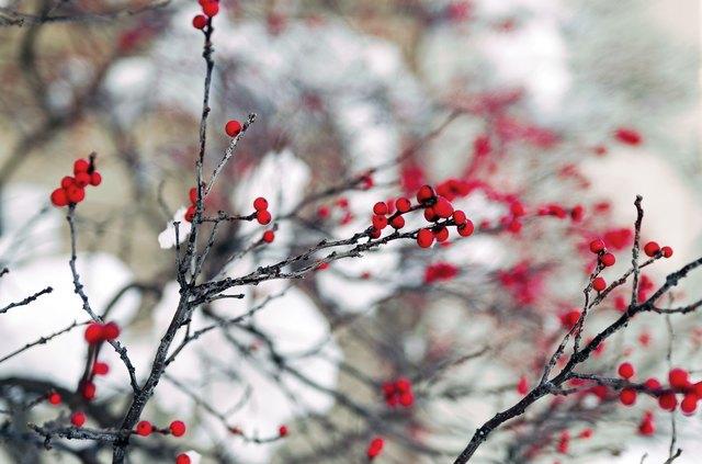 Is Winterberry Toxic?   Hunker