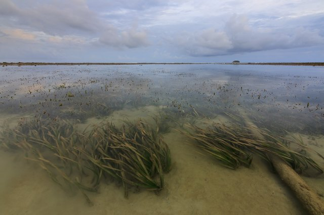 Seaweeds under shallow water at Borneo, Sabah, Malaysia