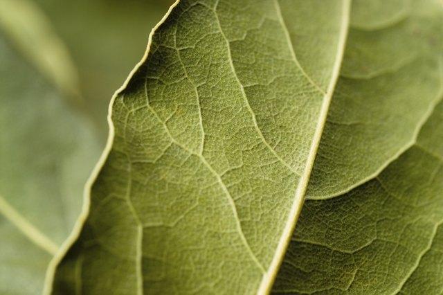 Bay leaf macro. Green background.