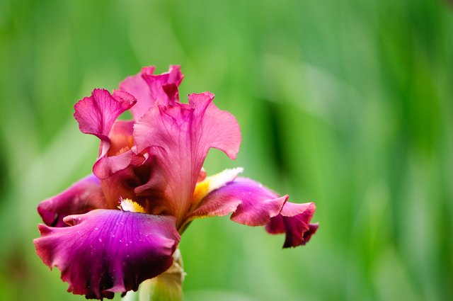 Colorful red and purple Iris