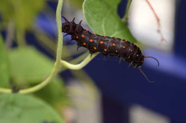 Pipevine Swallowtail Caterpillar on Vine