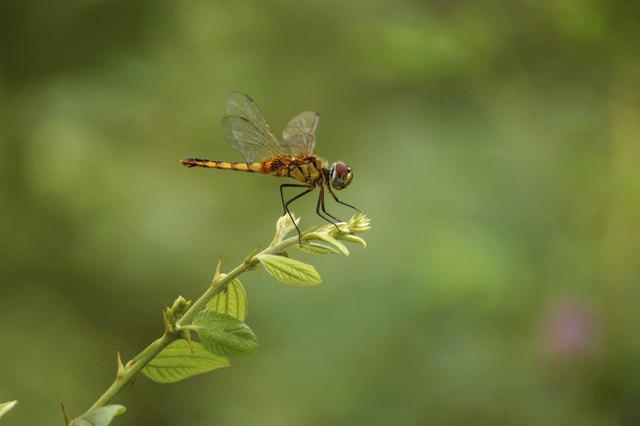 why are there so many dragonflies