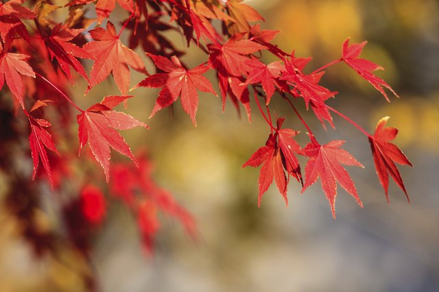 Red leaves of the maple in autumn