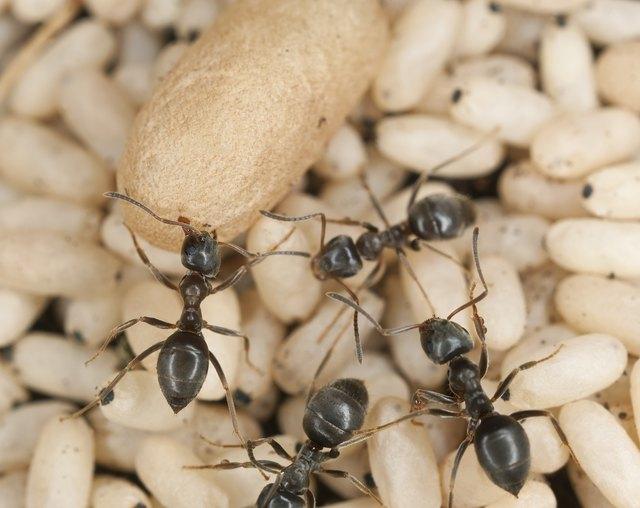 Black ant (Lasius niger) rescuing larva
