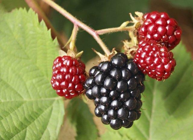 Blackberry bunch