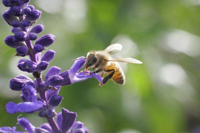 Honey bee drinking nectar on flower