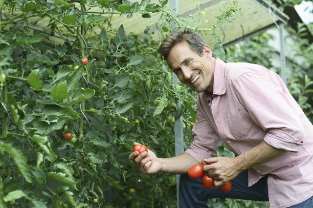 Man picking tomatoes from plant in garden