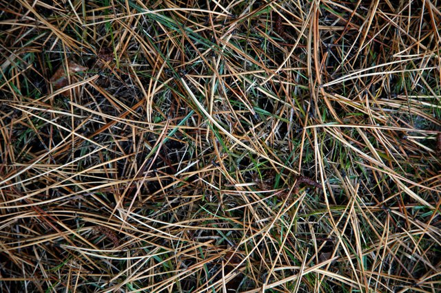 Close-up of pine needles on lawn