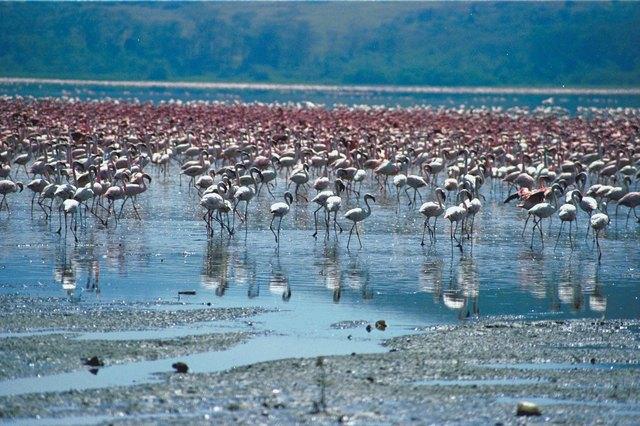 Flamingos in lake , Kenya