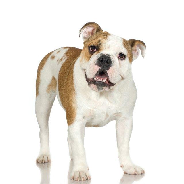 Studio portrait of bulldog puppy