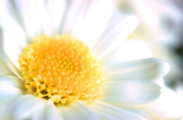 White daisy, full frame