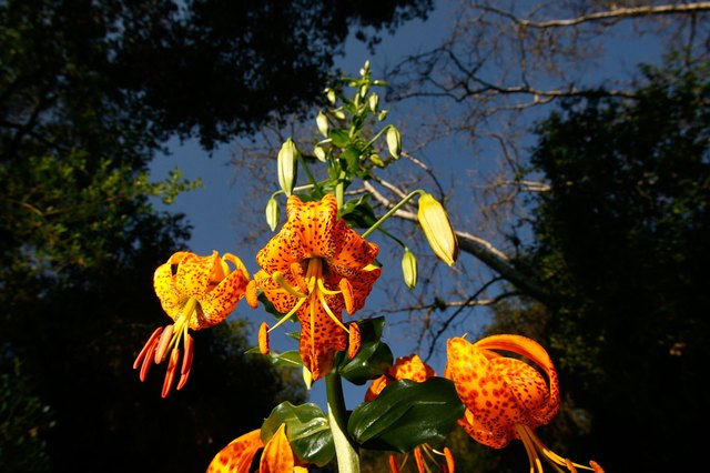What Is The Meaning Of A Tiger Lily Hunker