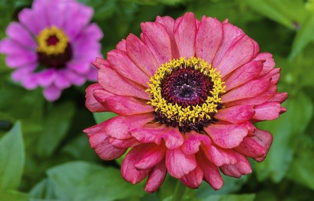 Two Zinnia Flowers