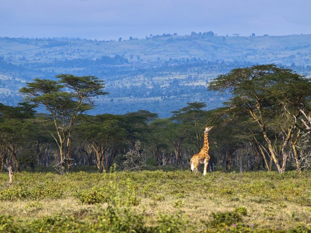 Adult giraffe eating leaves on a tree