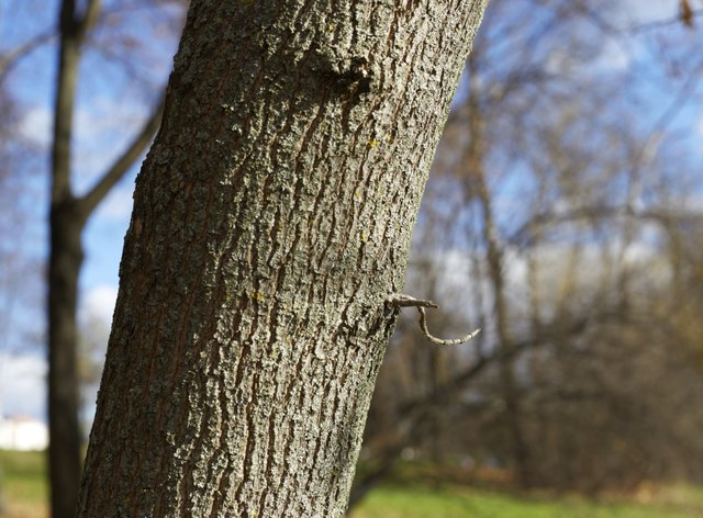 the trunk of a poplar