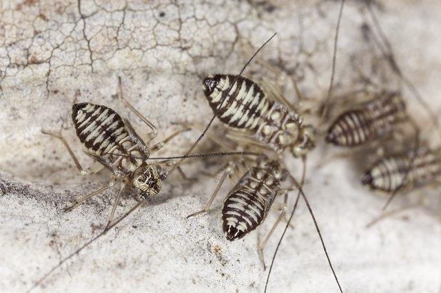 Barklice (Psocoptera) extreme close up
