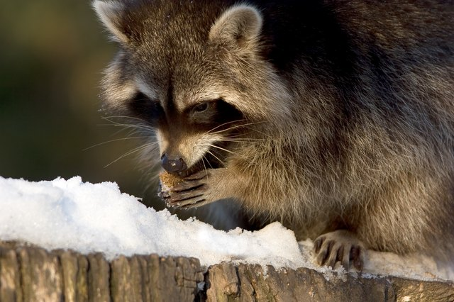 Racoon at lunch 1