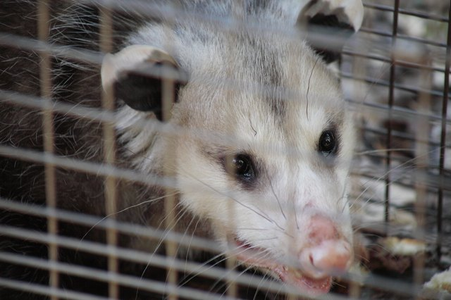 close up of opossum