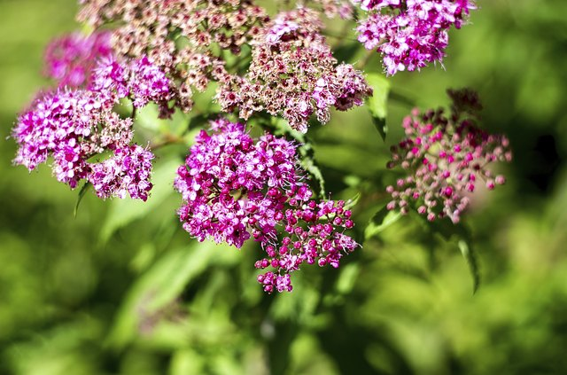 How To Prune Spirea Shrubs Hunker