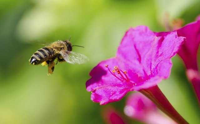 Honeybee Pollinated Of Flower