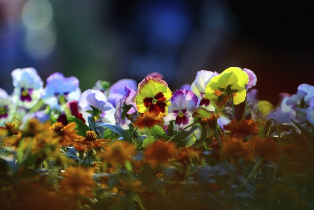 Flowers background pansy.