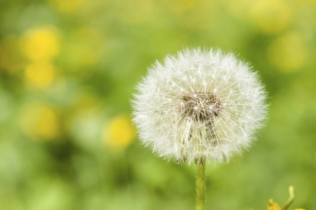 spring bright meadow with dandelion