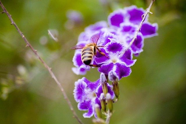Bee on a purple duranta