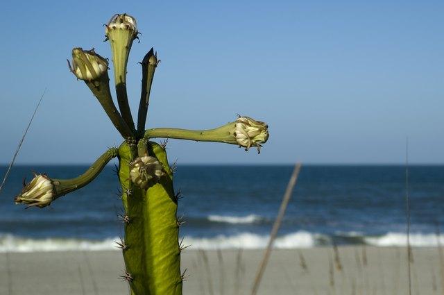 Cactus at Indialantic Beach