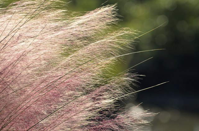 Pink Huhly Grass