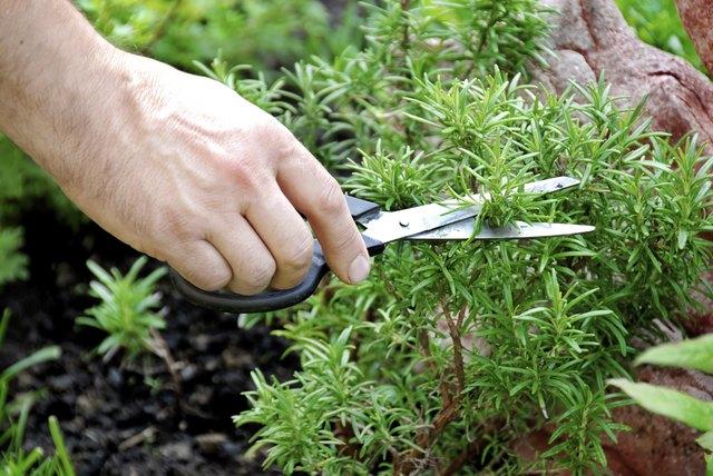 Rosemary seasoning garden