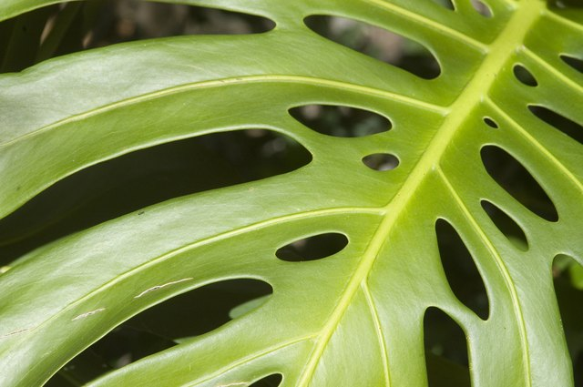 Close-up of a philodendron or monstera leaf.