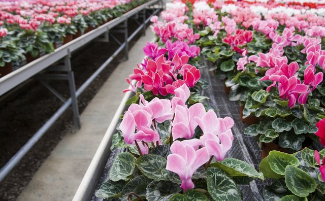 Cyclamen in a greenhouse