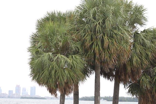Sabal Palms in Miami