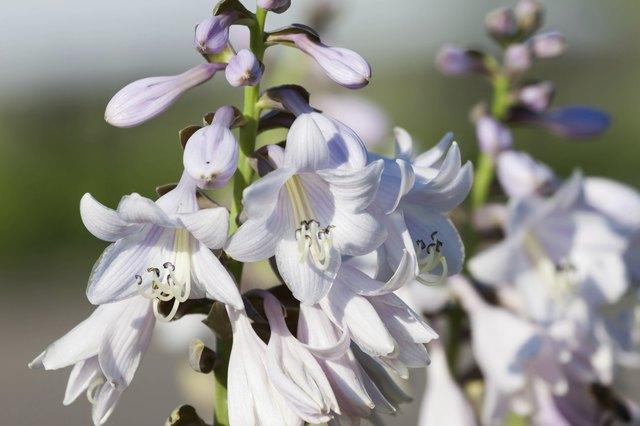 close up of white hosta flowers