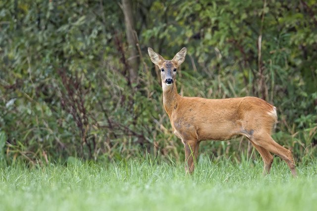 Roe-deer in the forest