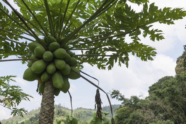 papaya tree with bunch of fruits