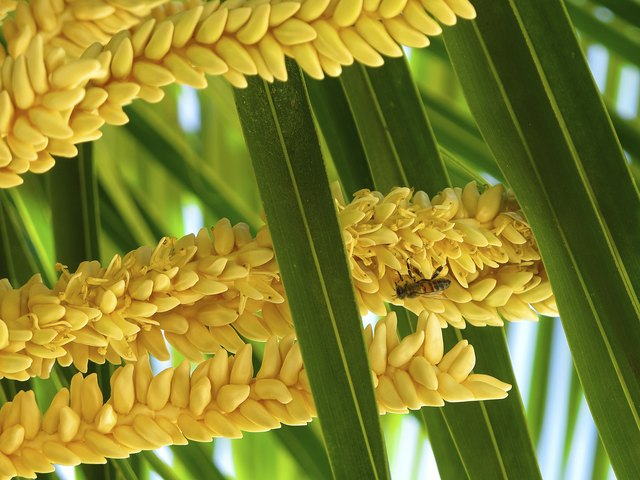 How do palm trees reproduce hunker palm tree mightylinksfo
