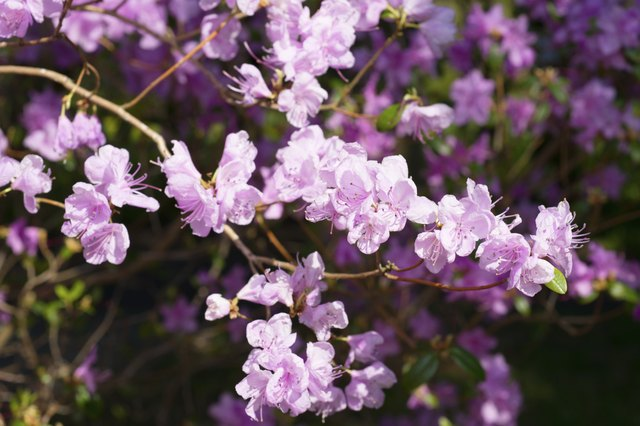 Background of flowers of Rhododendron