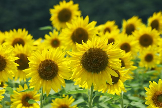 Sunflowers, Hyogo Prefecture, Japan