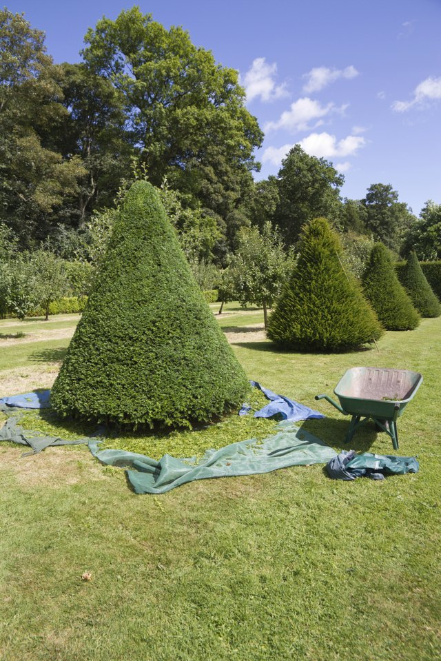 Trimming the yew trees