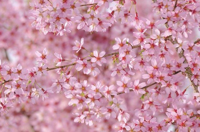 Pink Cherry Tree Flower Background