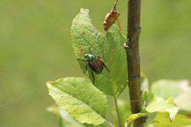 Japanese beetle on apple tree leaf