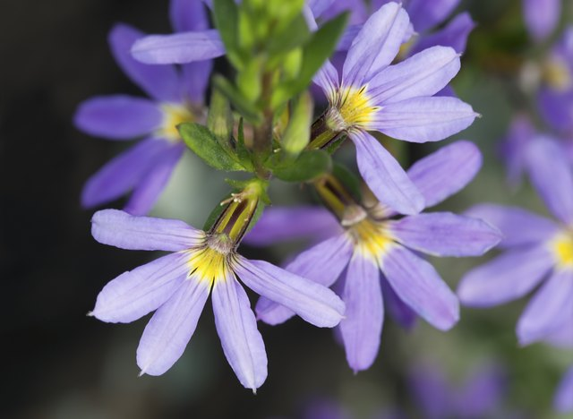 Fairy fan-flower, Scaevola aemula