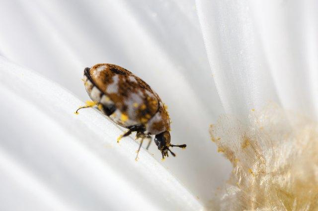 Bug on petals