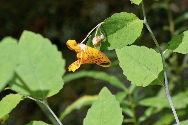This side view of a jewel weed or touch-me-not (Impatiens capensis) flower shows the typical leaves as well as the flower.