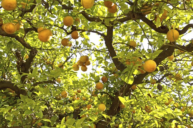 Lemon trees in a citrus grove in Sicily
